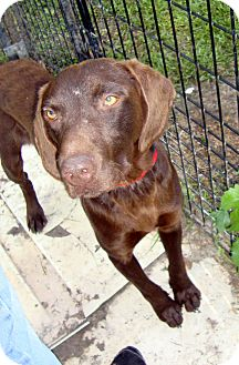German Shorthaired Pointer/Boykin Spaniel Mix Dog for adoption in Daleville, Alabama - Ace