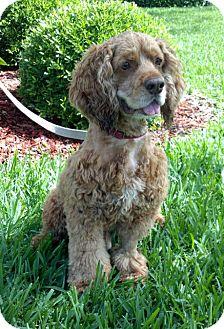 Cocker Spaniel Dog for adoption in Sugarland, Texas - Harry