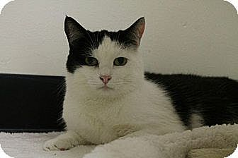 Domestic Shorthair Cat for adoption in Pineville, North Carolina - Rowena