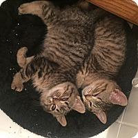 Adopt A Pet :: Luke & Leia - Sterling Hgts, MI