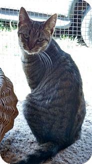 Domestic Shorthair Cat for adoption in Benton, Pennsylvania - Spagetti