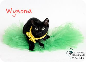 Domestic Shorthair Kitten for adoption in Covington, Louisiana - Wynona