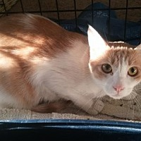 Siamese Cat for adoption in Herndon, Virginia - Treacle (& Sid)