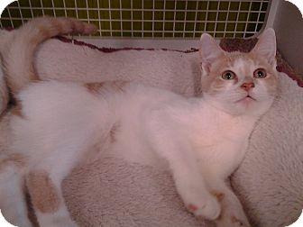 Domestic Shorthair Kitten for adoption in Richmond, Virginia - Buffett