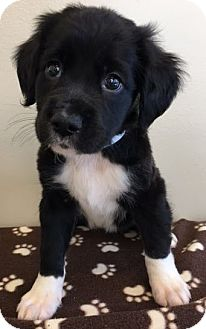 Shepherd (Unknown Type) Mix Puppy for adoption in Gahanna, Ohio - ADOPTED!!!   Olga