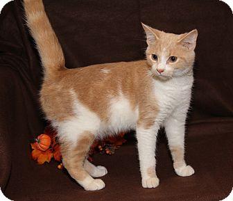 Domestic Shorthair Cat for adoption in Marietta, Ohio - Sir Galahad (Neutered)