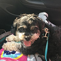 Shih Tzu/Schnauzer (Miniature) Mix Dog for adoption in Wilmington, Massachusetts - Toby: loves car rides! (TN)