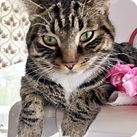 Adopt A Pet :: Tigress - Salisbury, MA