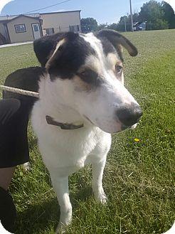 Husky Mix Dog for adoption in Hawk Point, Missouri - Boyd