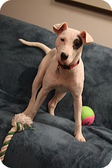Bull Terrier/Labrador Retriever Mix Dog for adoption in Knoxville, Tennessee - Elsa