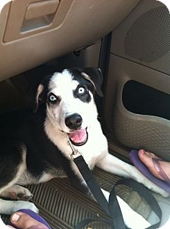 Husky Mix Puppy for adoption in Shirley, New York - Titan
