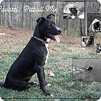 Pit Bull Terrier/Border Collie Mix Dog for adoption in LEXINGTON, Kentucky - PARVARTI (PRONOUNCED POVERTY)
