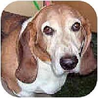 Adopt A Pet :: Chewie - Phoenix, AZ