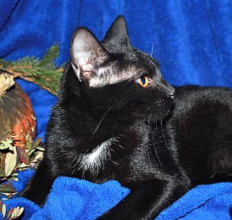 Domestic Shorthair Cat for adoption in Laingsburg, Michigan - Booker