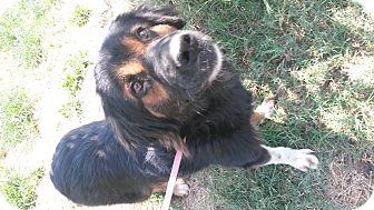 Bernese Mountain Dog/Australian Shepherd Mix Dog for adoption in East Hartford, Connecticut - Bernice
