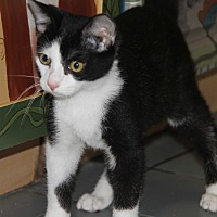 Domestic Shorthair Cat for adoption in Marietta, Ohio - Sylvester (Neutered) - Update