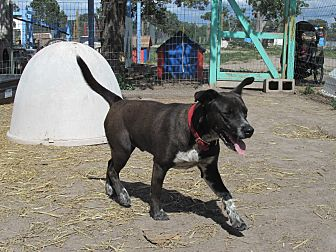 Cattle Dog/Blue Heeler Mix Dog for adoption in Pie Town, New Mexico - Benny