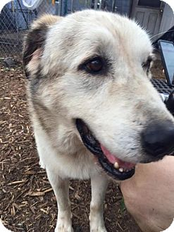 Great Pyrenees Mix Dog for adoption in Jacksonville, Florida - Bear - Sponsor