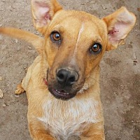 Australian Cattle Dog/American Staffordshire Terrier Mix Dog for adoption in Pipe Creek, Texas - Pandy