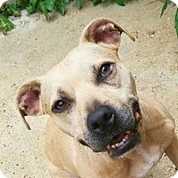American Staffordshire Terrier Mix Dog for adoption in West Dundee, Illinois - Nila