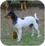 Rat Terrier Mix Dog for adoption in Jacksonville, Florida - Snookie