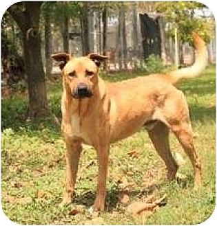 Shepherd (Unknown Type) Mix Dog for adoption in Key Biscayne, Florida - Adonis