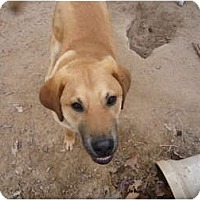Adopt A Pet :: Lester - Pointblank, TX