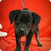 Adopt A Pet :: Snookums - Broomfield, CO