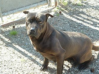 American Staffordshire Terrier Mix Dog for adoption in Rocky Point, North Carolina - Jada