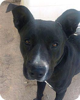 Labrador Retriever/American Bulldog Mix Dog for adoption in Las Vegas, Nevada - House