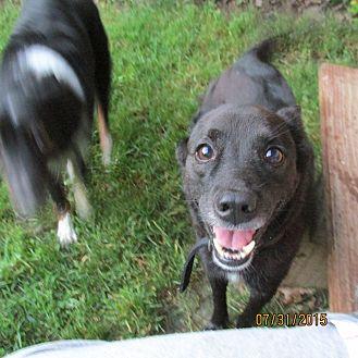 Schipperke/Labrador Retriever Mix Dog for adoption in Wapwallopen, Pennsylvania - Knight - 10