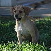 Adopt A Pet :: Lyka - San Diego, CA