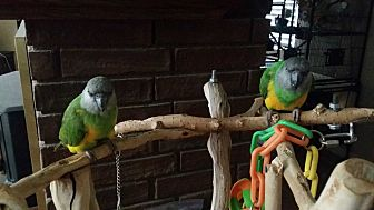 Poicephalus (including Senegal and Meyer's) for adoption in Redlands, California - Nemo & Stitch