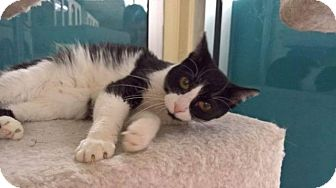 Domestic Shorthair Cat for adoption in Valley Park, Missouri - Kyra