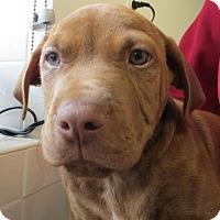 Adopt A Pet :: Phoenix - Gloucester, MA