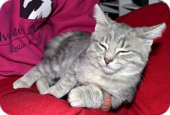 Domestic Shorthair Cat for adoption in Xenia, Ohio - Twinkle