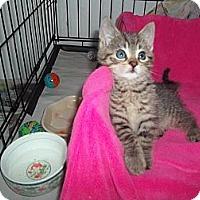 Adopt A Pet :: SIMBA - Little Neck, NY
