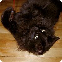 Domestic Mediumhair Cat for adoption in Verdun, Quebec - Hugo