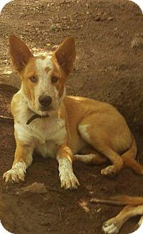 Australian Cattle Dog/Shepherd (Unknown Type) Mix Dog for adoption in Charlestown, Rhode Island - Jack