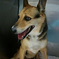 Chihuahua Mix Dog for adoption in Miami, Florida - Gypsy*