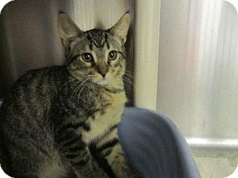 Domestic Shorthair Cat for adoption in Grand Junction, Colorado - Hedwig