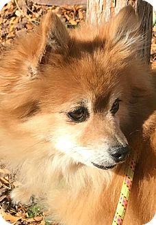 Pomeranian/Papillon Mix Dog for adoption in Boulder, Colorado - Jackson-ADOPTION PENDING