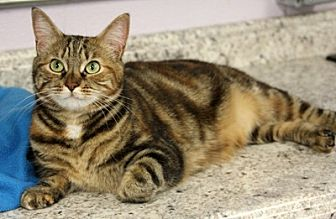 Domestic Shorthair Cat for adoption in Harrison, New York - Cupcake