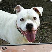 Adopt A Pet :: Petey - Santa Maria, CA