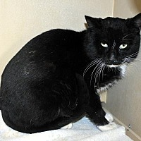 Adopt A Pet :: Scat Cat - Pryor, OK