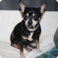 Adopt A Pet :: Beanz - Bradenton, FL