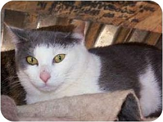 Snowshoe Cat for adoption in Winnsboro, South Carolina - Nichols