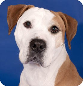 American Pit Bull Terrier/American Staffordshire Terrier Mix Dog for adoption in Chicago, Illinois - Gomez