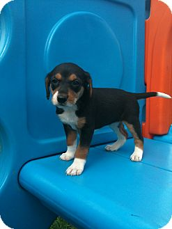 Hound (Unknown Type) Mix Puppy for adoption in Linton, Indiana - Penni