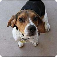 Adopt A Pet :: Chance - Phoenix, AZ